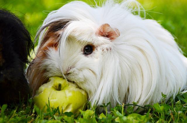 morče s jablkem