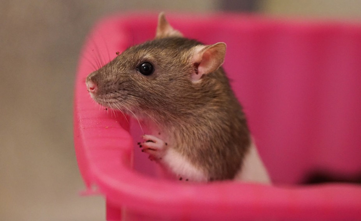 malá krysa